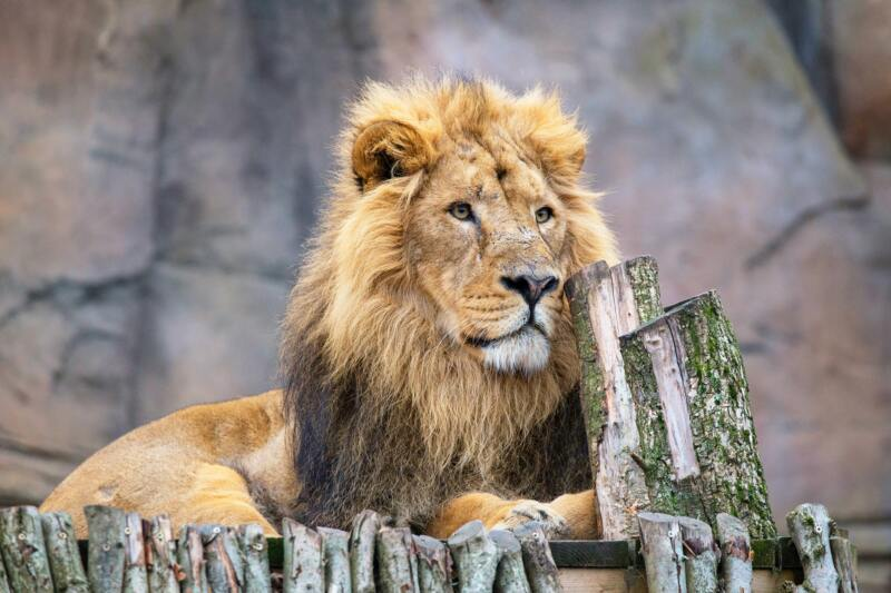 50 Fun Things To Do With Kids In London (Image of a lion at London Zoo)